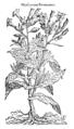 Hyoscyamus Peruvianus 449 Dodoens 1583.png