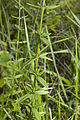 Hypericum hirsutum coteau-charteves 02 23062007 4.jpg
