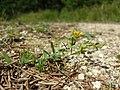 Hypericum humifusum sl6.jpg