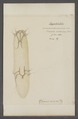 Hypodectes - Print - Iconographia Zoologica - Special Collections University of Amsterdam - UBAINV0274 073 01 0055.tif