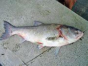 ماهی فیتوفاك یا كپور نقره ای یا كپور سرگنده