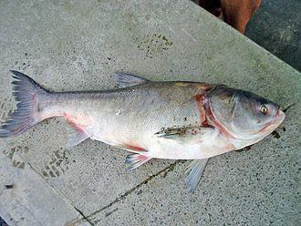 Carp fishing - Silver carp