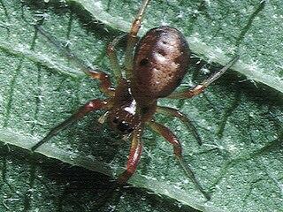 <i>Hypsosinga pygmaea</i> Species of spider