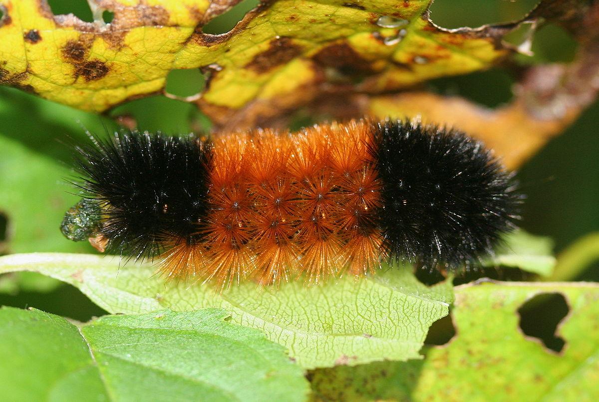 Pyrrharctia isabella wikip dia - Chenille orange et noir ...