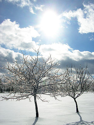 Two apple trees, coated in ice following an ic...