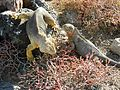 Iguana DSCN2527.JPG