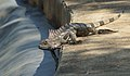 Iguana XI.jpg