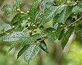 Ilex-verticillata-Acadia.jpg