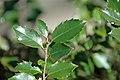 Ilex aquifolium (English holly) (Middletown, Ohio, USA) 4 (49113280318).jpg