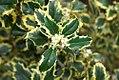 Ilex aquifolium Argenteo Marginata 0zz.jpg