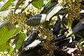 Ilex cornuta National 3zz.jpg