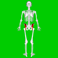 Iliacus muscle02.png