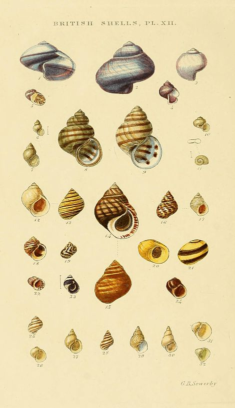 Illustrated Index of British Shells Plate 12.jpg