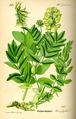 Illustration Astragalus frigidus0.jpg