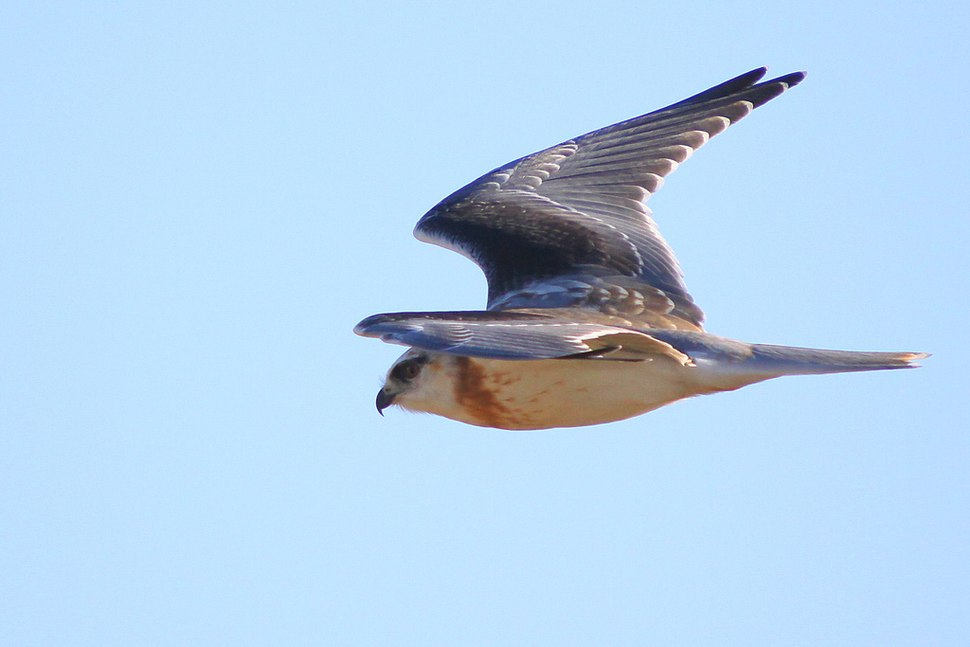 Immature Black-shouldered Kite