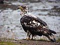 Immature Eagle (4249607939).jpg