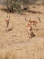 Impalas group looking away.jpg