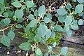 Impatiens purpureo-violacea-Jardin botanique Meise (5).jpg