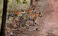India Tiger cubs.jpg