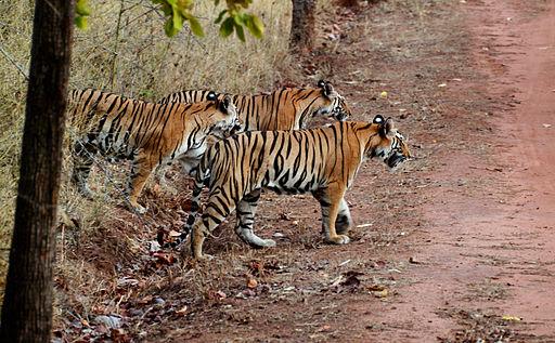 India Tiger cubs