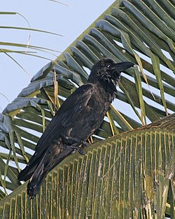 Indian Jungle Crow Corvus culminatus Kumarokom, Kerala.jpg