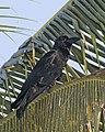 Indian Jungle Crow Corvus culminatus Kumarokom, Kerala.jpg