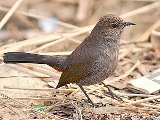 Indian robin - Female of race cambaiensis (Haryana)