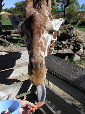 Indianapolis Zoo - A visitor feeds a giraffe at the zoo.