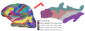 Inflated surface of the left hemisphere and insular region.png