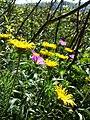 Inula hirta + Geranium sanguineum sl3.jpg