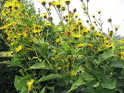 meaning of elecampane