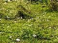 Ipomoea cairica (dkrb)-2.jpg