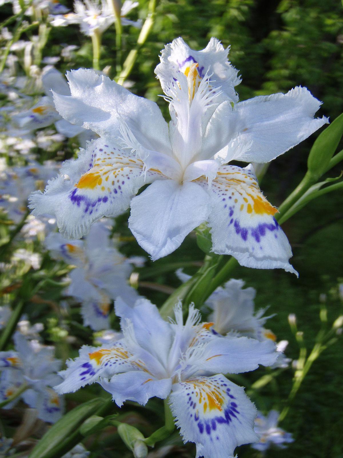 Iris japonica - Wikipedia: https://en.wikipedia.org/wiki/Iris_japonica