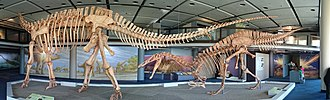 Jobaria - Skeletons of Jobaria and Suchomimus, two dinosaurs from Niger which did not coexist
