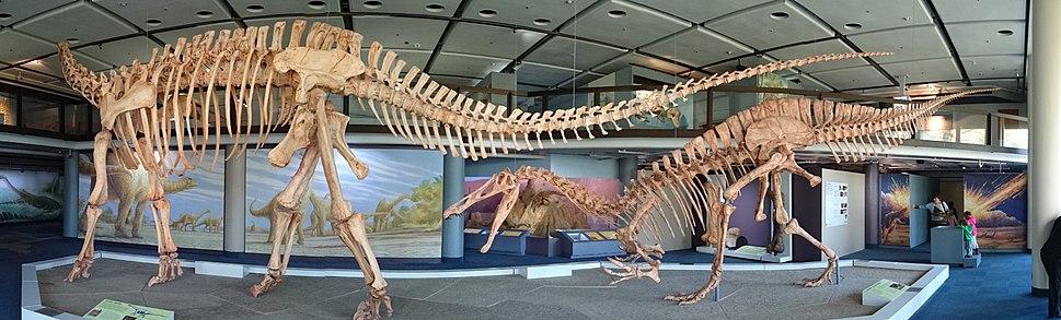 Iziko Jobaria Dinosaur Skeleton Panorama