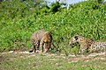 Jaguars (Panthera onca) - after fight ...(Female left) (29069546152).jpg