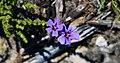 Jamesbrittenia microphylla00.jpg