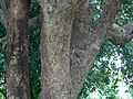 Jamun (Hindi- जामुन) (864058296).jpg