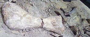 Janenschia-Fossilien im Museum für Naturkunde, Berlin