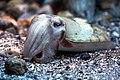 Japan squid, Sepia esculenta (15601195858).jpg