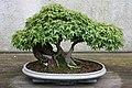 Japanese Maple (Acer palmatum) Kiyo-hime (3504614045).jpg