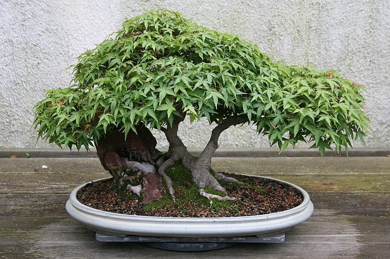 arbre nain en pot