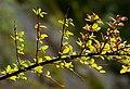Japanese barberry in Grytan, Immestad 3.jpg