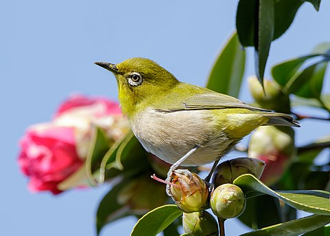 Japanese white-eye at Tennōji Park in Osaka, January 2016 III.jpg