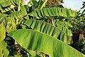 Japanische Faser-Banane (Musa basjoo) Blumengärten Hirschstetten Wien 2014 d.jpg