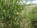 Jasminum fruticans (8754224861).jpg