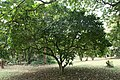 Jatropha Pandurifolia - 02.jpg