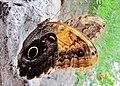 Je garde un oeil sur vous^ - I just keep an eye on you...^ Caligo sp, Papillon-chouette - panoramio.jpg