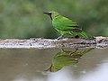 Jerdon's Leafbird, Bengaluru, Vimal Rajyaguru, 04.jpg