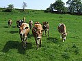 Jersey cattle grazing at Shipley, Shropshire - geograph.org.uk - 816323.jpg